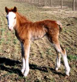 Foxtrotter Sabino Filly born 2-20-02