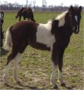 Sold - Beautiful black and white filly sired by Pure Luck, born 10-20-04