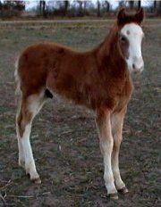 bay sabino fox trotting colt