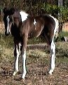 Black & white stud colt, born 10-09-03, sired by Pure Luck. Click here for more details.