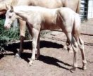 cremello stud colt by Harvest Gold