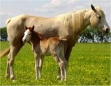 red sabino foxtrotter filly born 4-26-04