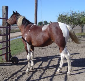 bay & white foxtrotter tobiano filly for sale