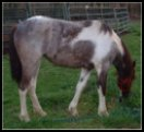 Hidden Acres Foxtrotters' Blue roan & white filly sired by Pure Luck.