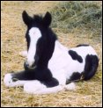 black & white stud colt, born March 2004, sired by Pure Luck