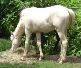 cremello fox trotter filly born 10-3-05