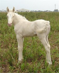 cremello foxtrotting filly born 10-3-05