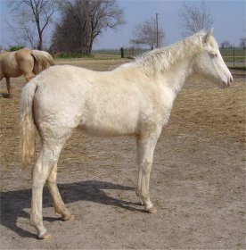 cremello foxtrotter filly born 10-3-05
