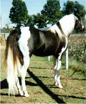 DUSTY TRAVELER, a Missouri Foxtrotting Horse Breed Association approved stallion