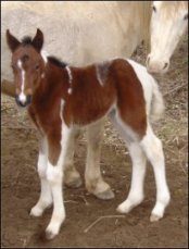bay & white foxtrotting horse filly born 1-31-05 - photo#2