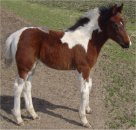 Sold - very gentle bay and white filly sired by Pure Luck, born 1-31-05