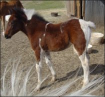 bay & white foxtrotter filly born 1-31-05 - photo#5