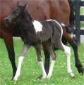 black & white filly, born May 2004, sired by Pure Luck