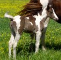 black & white tovero filly, born 4-14-04, sired by Jack's Absolute Power
