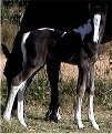 black & white filly, born 10-17-03, sired by Pure Luck