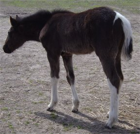 black & white tobiano fox trotter filly