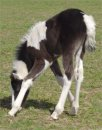 black & white tobiano foxtrotter filly