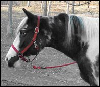black and white tovero foxtrotter trail mare #2