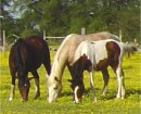 Foxtrotter Herd For Sale