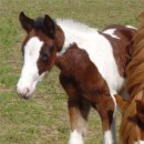 Bay & White Foxtrotter Tobiano Filly