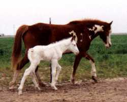 Maximum sabino stud colt and his dam, Han's Painted Rose