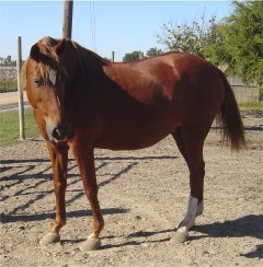 sorrel foxtrotter mare for sale