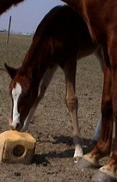 sorrel foxtrotter filly photo #2