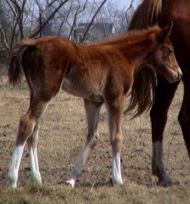 sorrel foxtrotter filly photo #3