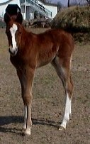 sorrel foxtrotter filly photo #1
