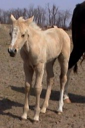 Foxtrotter Palomino Filly, born 2-14-03
