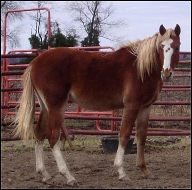 foxtrotter strawberry roan red sabino overo 2 year old stud
