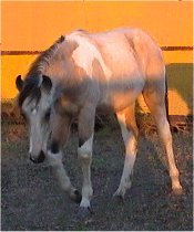 buckskin & white tobiano stud colt by Pure Luck