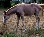 Sold - red sabino filly, born 3-8-03, sired by Dusty Traveler