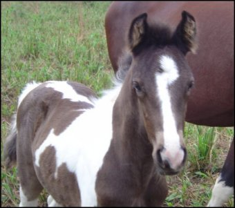 black and white spotted foxtrotter stud colt