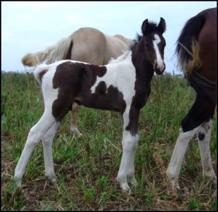 black and white tobiano foxtrotter stud colt