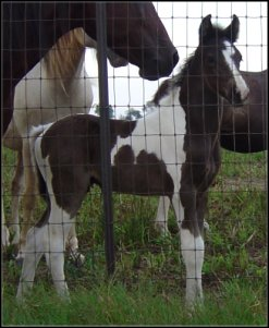 black and white tobiano fox trotting stud colt