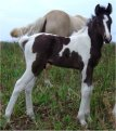 Sold - Black & white tobiano stud colt, born 10-3-05, sired by Vanilla-N-Ice
