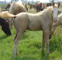 Sold - Palomino overo stud colt, born 6-1-05, sired by Harvest Gold