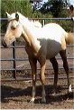 Sold - palomino filly, born 2-14-03, sired by Harvest Gold