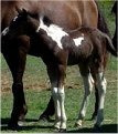 Black & white filly, born 10-03-03, sired by Pure Luck.