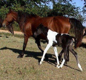 black and white foxtrotter filly born 10-08-03 photo#3