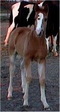 red sabino fox trotting colt