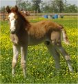 Red sabino stud colt, born 4-19-04, sired by Jack's Absolute Power T&H