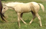 Sold - Palomino stud colt, born 5-27-05, sired by Harvest Gold