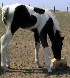 black & white tobiano foxtrotter stud colt, photo #2
