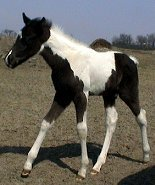 black & white tobiano foxtrotter stud colt, photo #4