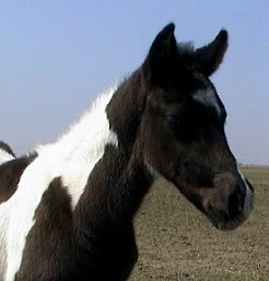 black & white tobiano foxtrotter stud colt, photo #3